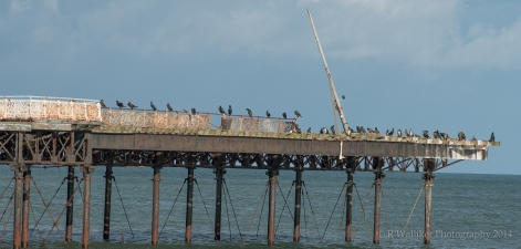 Cormorant's on Colwyn Bay Pier - 25th Oct. 2014